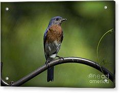Proud Eastern Bluebird  Acrylic Print by Cris Hayes