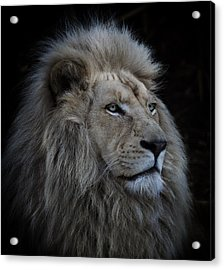 Proud Lion Acrylic Print by Louise Wolbers