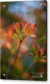 Proud Orange Blossoms Acrylic Print by Mike Reid