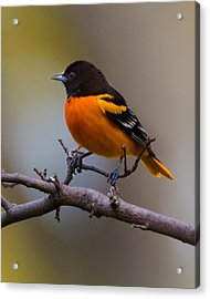Proud Oriole Acrylic Print by Timothy McIntyre
