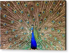 Acrylic Print featuring the photograph Proud Peacock by Geraldine DeBoer