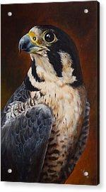 Proud - Peregrine Falcon Acrylic Print