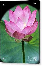Proud Pink Lotus Acrylic Print by Sabrina L Ryan