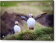 Proud Puffin Acrylic Print by Peta Thames