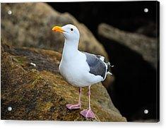 Proud Seagull Acrylic Print