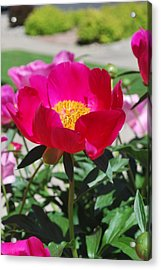 Proud To Be Pink Acrylic Print by Billie Colson