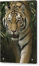 Prowling Acrylic Print