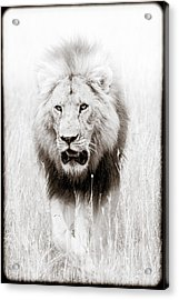 Prowling For Prey Acrylic Print
