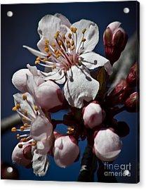 Prunus Armeniaca In Bloom Acrylic Print