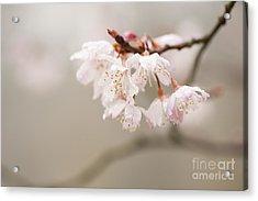 Prunus Hirtipes Acrylic Print by Anne Gilbert