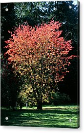 Prunus Sp Acrylic Print by Chris Dawe/science Photo Library
