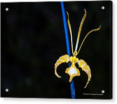 Psychopsis - Butterfly Orchids Acrylic Print