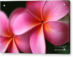 Pua Lei Aloha Cherished Blossom Pink Tropical Plumeria Hina Ma Lai Lena O Hawaii Acrylic Print