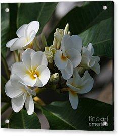 Pua Melia Na Puakea Onaona Tropical Plumeria Acrylic Print