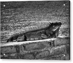 Puerto Rico Iguana 002 Acrylic Print