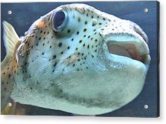 Puffer Fish Acrylic Print by Amber Davenport