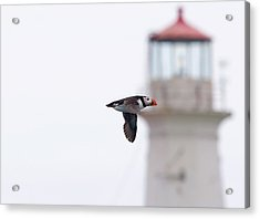 Puffin And Light. Acrylic Print
