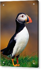 Puffin Bird In Grass, Selective Focus Acrylic Print by Panoramic Images