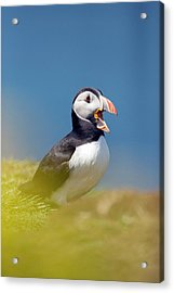 Puffin Calling Acrylic Print by Simon Booth