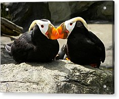 Puffin Friends 2 Acrylic Print by Gary Olsen-Hasek