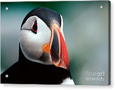 Acrylic Print featuring the photograph Puffin Head Shot by Jerry Fornarotto