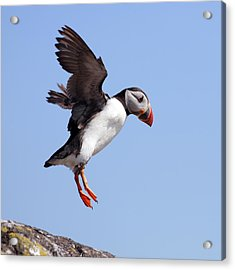 Puffin In Flight Acrylic Print by Grant Glendinning