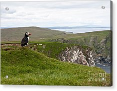 Puffin In The Shetlands Acrylic Print