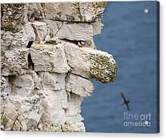 Puffin Peeps From Under A Rock Acrylic Print by Louise Heusinkveld