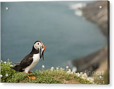 Puffin With Sandeels Acrylic Print by Anne Gilbert