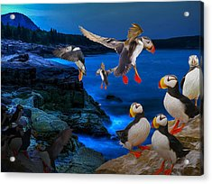 Puffins Bedding Down Acrylic Print