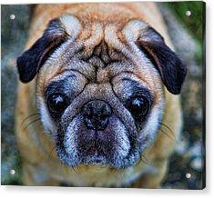 Pug - Man's Best Friend Acrylic Print by Lee Dos Santos