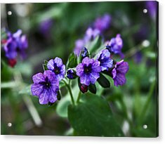 Pulmonaria Acrylic Print by Larry Capra