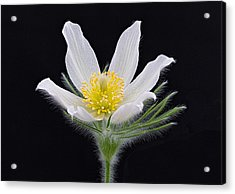 Pulsatilla Alba Acrylic Print