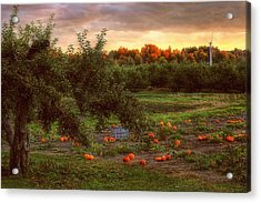 Pumpkin Patch Acrylic Print by Joann Vitali