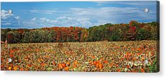 Pumpkin Patch - Panorama Acrylic Print