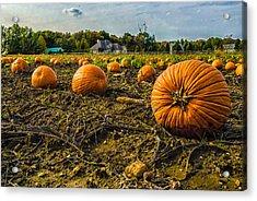 Pumpkins Picking Acrylic Print by Louis Dallara