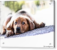 Acrylic Print featuring the photograph Puppet Dog by Stwayne Keubrick