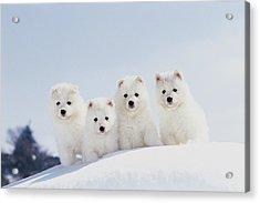 Puppies In Snow Acrylic Print by Mitsuyoshi  Tatematsu