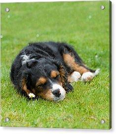 Puppy Asleep With Garden Daisy Acrylic Print by Natalie Kinnear