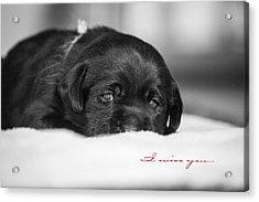 Puppy Black Lab  Acrylic Print by Toni Thomas