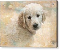 Puppy Eyes Acrylic Print by Jayne Carney