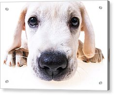 Puppy Face Acrylic Print by Diane Diederich