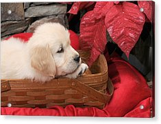 Acrylic Print featuring the photograph Puppy In A Basket by Paul Miller