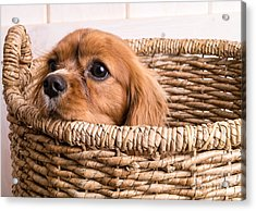 Puppy In A Laundry Basket Acrylic Print by Edward Fielding