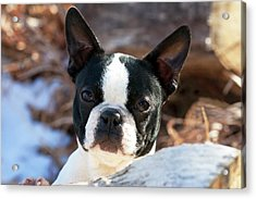Purebred Boston Terrier Puppy Acrylic Print by Piperanne Worcester