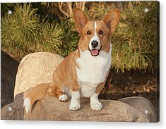 Purebred Cardigan Welsh Corgi Sitting Acrylic Print by Piperanne Worcester