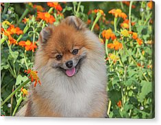 Purebred Pomeranian Sitting Among Acrylic Print by Piperanne Worcester