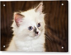 Purebred Rag Doll Cat Acrylic Print by Piperanne Worcester