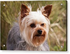 Purebred Yorkshire Terrier Acrylic Print by Piperanne Worcester