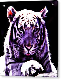 Purle Tiger Acrylic Print